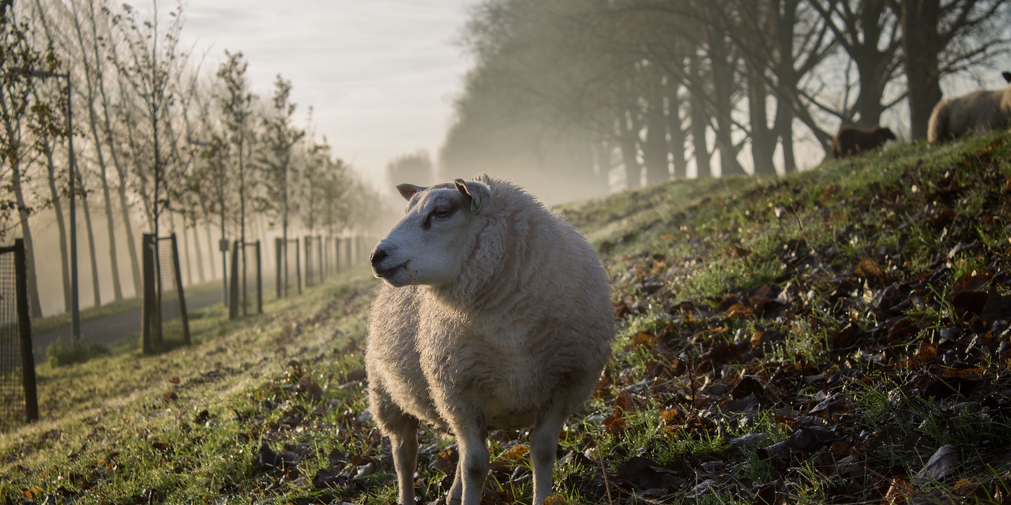 Sheep in morning pasture